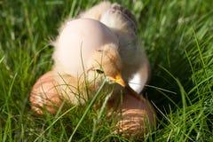 Poulet de bébé avec des oeufs dans l'herbe verte Photo libre de droits