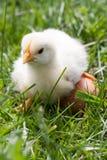 Poulet de bébé avec l'oeuf dans l'herbe verte Photo stock