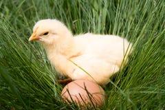 Poulet de bébé avec l'oeuf dans l'herbe verte Photographie stock libre de droits