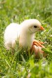 Poulet de bébé avec l'oeuf dans l'herbe verte Photo libre de droits