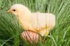 Poulet de bébé avec l'oeuf dans l'herbe verte Photographie stock