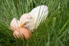 Poulet de bébé avec la coquille d'oeuf cassée et oeuf dans l'herbe verte Photo libre de droits