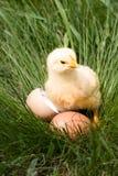 Poulet de bébé avec la coquille d'oeuf cassée et oeuf dans l'herbe verte Images stock
