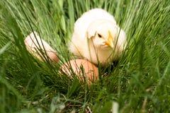 Poulet de bébé avec la coquille d'oeuf cassée et oeuf dans l'herbe verte Photos libres de droits