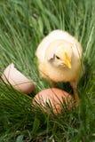 Poulet de bébé avec la coquille d'oeuf cassée et oeuf dans l'herbe verte Image stock