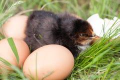 Poulet de bébé avec la coquille d'oeuf cassée et oeufs dans l'herbe verte Image libre de droits