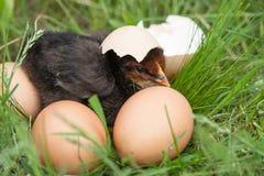 Poulet de bébé avec la coquille d'oeuf cassée et oeufs dans l'herbe verte Photos libres de droits