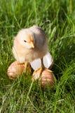 Poulet de bébé avec la coquille d'oeuf cassée et oeufs dans l'herbe verte Images stock