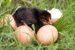 Poulet de bébé avec la coquille d'oeuf cassée et oeufs dans l'herbe verte Photographie stock