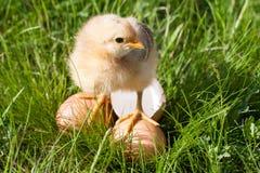Poulet de bébé avec la coquille d'oeuf cassée et oeufs dans l'herbe verte Photos stock