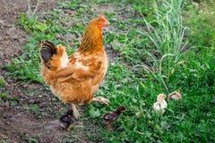 Poulet de Brown avec de petits poulets nouveau-nés recherchant la nourriture dans GA photo libre de droits