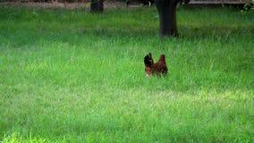Poulet de Brown marchant sur l'herbe banque de vidéos