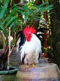 Poulet de coq Photos libres de droits