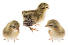 Poulet de poussin Photo stock