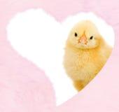 Poulet de Valentines à l'intérieur de coeur rose pelucheux Photographie stock libre de droits
