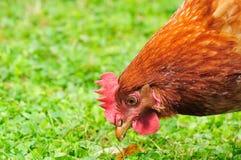 Poulet domestique mangeant l'herbe photos libres de droits