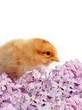 Poulet et lilas Image libre de droits