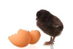Poulet et oeuf noirs de bébé sur le blanc photo libre de droits