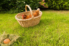 Poulet et oeufs dans le panier Image stock