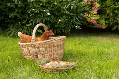 Poulet et oeufs dans le panier Images stock