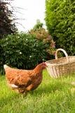Poulet et oeufs dans le panier Photos stock