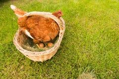Poulet et oeufs dans le panier Photo libre de droits