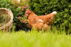 Poulet et oeufs dans le panier Photographie stock libre de droits