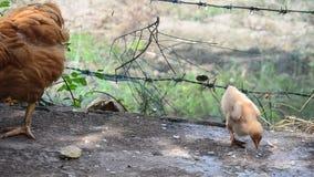 Poulet et poussin de Betong mangeant de la nourriture à la ferme banque de vidéos