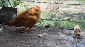 Poulet et poussin de Betong mangeant de la nourriture à la ferme clips vidéos