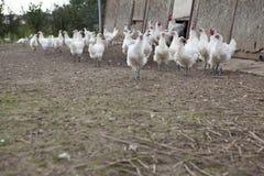 Poulet français de bresse photo libre de droits