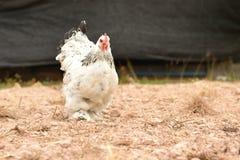 Poulet géant Brahma se tenant sur la terre dans la région de ferme Photographie stock