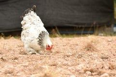 Poulet géant Brahma se tenant sur la terre dans la région de ferme Images stock