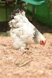 Poulet géant Brahma se tenant sur la terre dans la région de ferme Photos stock