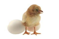 Poulet jaune de Pâques image libre de droits