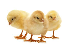 Poulet jaune pelucheux de Pâques Photographie stock libre de droits