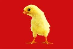 Poulet jaune sur un rouge Image stock