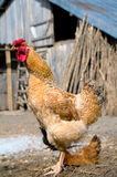 Poulet libre d'intervalle photo stock