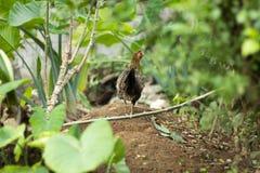 Poulet marchant dans un jardin avec ses poussins photos libres de droits