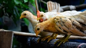 Poulet nain Photo stock