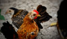 Poulet nain images stock