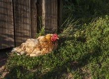 Poulet orange fait maison dans la cour photos stock