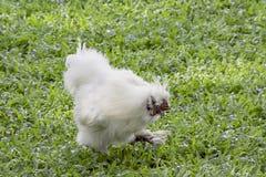 Poulet ou poule blanc de Silkie mangeant de la nourriture sur la pelouse dans le jardin image stock