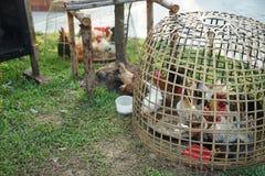 Poulet petit dans la cage de poulet en bambou en osier photographie stock