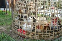 Poulet petit dans la cage de poulet en bambou en osier photos stock