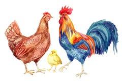 Poulet, poule, coq, oeuf Peinture d'aquarelle Photos stock