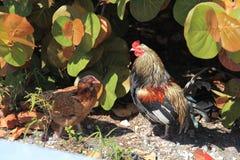 Poulet, poule et goujon images stock
