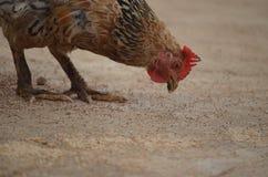 Poulet prenant des grains photographie stock