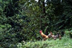 Poulet recherchant la nourriture à leur environnement photos stock