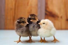 Poulet trois petits poulets, deux et un jeune coq images libres de droits