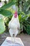 Poulet un poulet masculin Photo stock